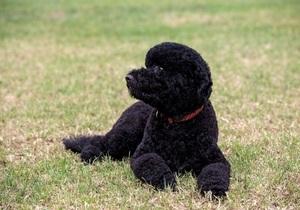 Семья Обамы завела вторую собаку