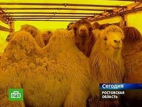 Российских верблюдов, которых не пускали в Украину, задержали на границе Румынии