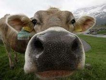 Эстонцы отменили налог на коровьи газы