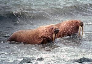 Экологи предупреждают, что моржи могут  не пережить массовое таяние ледников