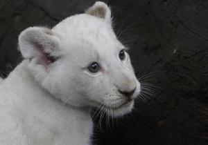 В ялтинском зоопарке родились белые львята