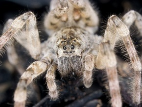 Ученые выяснили, сколько пауки могут продержаться под водой