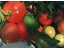 Украинцев просят быть осторожнее при покупке помидоров