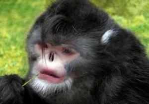 В Мьянме обнаружили новый вид курносых обезьян