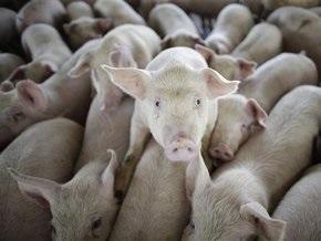 В Египте фермеры-свиноводы забрасывают полицейских камнями