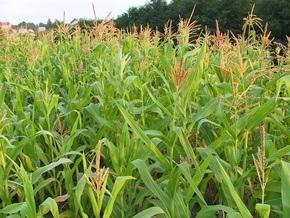 Россиянин выращивал кукурузу на стратегическом объекте Минобороны