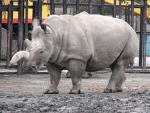 Последние четыре особи белого носорога находятся под угрозой уничтожения