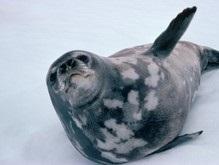 Тюлень пытался изнасиловать пингвина