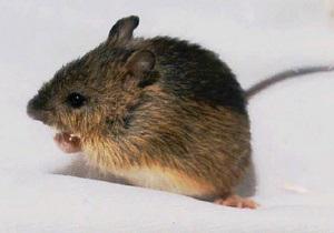 Биологи вычислили, за сколько поколений можно превратить мышь в слона