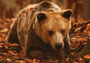 В Греции умер старейший в мире медведь