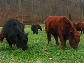 У королевы Британии украли стадо безрогих коров