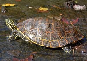 Черепаха, прошедшая Первую мировую, ищет новых хозяев