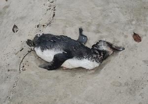 На пляжах Бразилии обнаружены 500 мертвых пингвинов