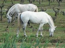 Раскрыта тайна белых лошадей