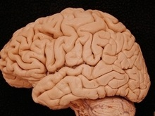 Ученые: У американцев и азиатов мозг работает по-разному