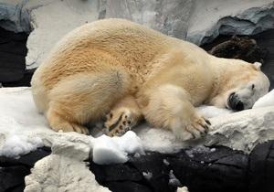 Белая медведица проплыла почти 700 километров в поисках льдины