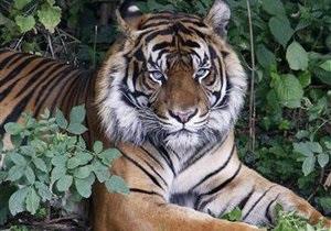 В России  амурские тигры гибнут от неизвестной болезни