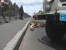 Молодой лось стал жертвой ДТП в Киеве