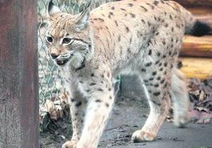 В киевском зоопарке карпатскую рысь перевели в новый вольер