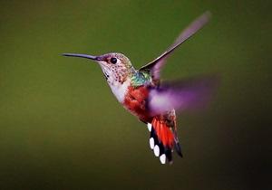 Ученые: у колибри полет задним ходом не увеличивает расход энергии