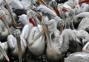 Стала известна причина массовой гибели пеликанов у побережья Перу