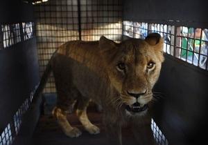 Британская полиция разыскивает беглого льва на вертолетах