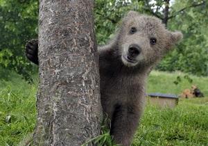 На Аляске медвежонок забрался в овощной отдел супермаркета