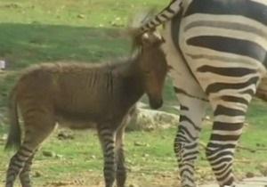 В китайском зоопарке родился зеброосел