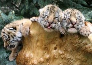 В Харьковском зоопарке родились три уссурийских тигренка