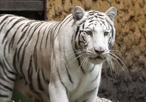 Бенгальская тигрица устроила переполох на улицах мексиканского города