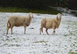 Новости Великобритании - странные новости: В Шотландии овца провела 11 дней под трехметровым слоем снега