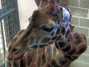 В США жирафу при перевозке погнули шею
