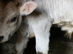 В Казахстане родился двухголовый теленок с тремя ушами