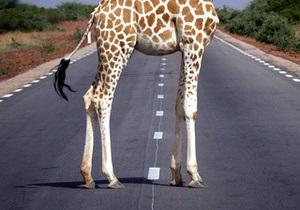 Фотогалерея: Прямо по курсу – жираф. Животные на дороге