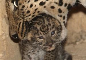 В Ялтинском зоопарке родился амурский леопард