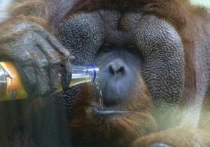 Туристы вызывают у орангутангов сильный стресс - биологи