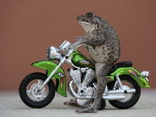 Фотогалерея: Лягушка на мотоцикле