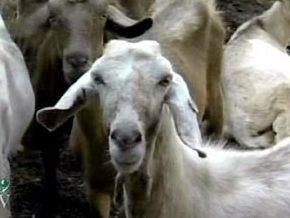 В Израиле козел  дает до трех стаканов молока в сутки