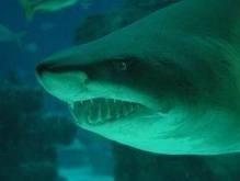 На турецких пляжах акул не обнаружено