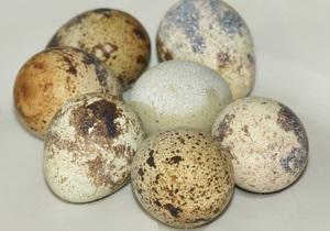 Перепелки выбирают для гнезда место, которое подходит под цвет скорлупы яиц