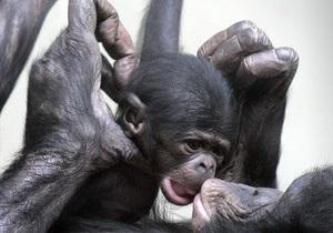Ученым удалось расшифровать геном шимпанзе-бонобо