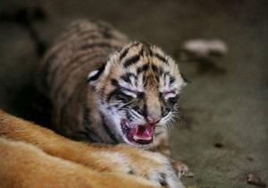Жительница Таиланда пыталась вывезти из страны живого тигренка, замаскировав его среди игрушек