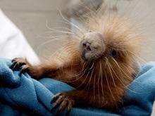 Киевский зоопарк пополнился тремя дикобразами