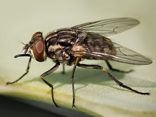 Ученые отгадали секрет неуловимости мух