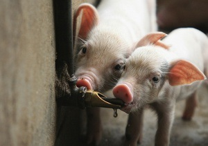 Украина запретила импорт свиней из Сербии