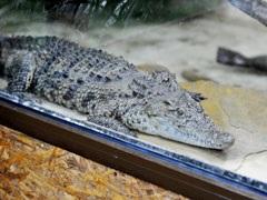 Пойманная в одесском пруду  крокодилица по документам оказалась собакой