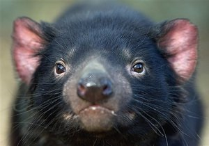 Ученым не удалось спасти тасманийских дьяволов от инфекционного рака, уничтожающего популяцию животных