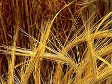 В Луганской области сгорело почти пять гектаров ячменя