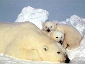 Ученые: Из-за глобального потепления белые медведи измельчали