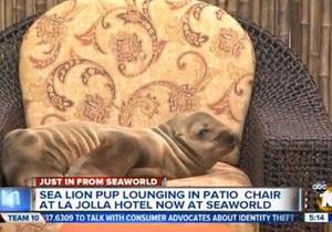 Странные новости - новости США: В США морской лев пробрался в гостиницу и уселся в кресле